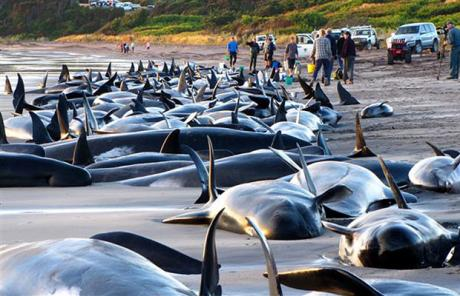 More Than 50 Pilot Whales Beached On Long Beach In Kommetjie Cape Town Saturday Reported The Associated Press And NSRI Volunteers Battled To