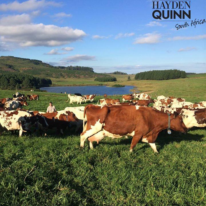 Hayden Quinn 11 Midlands More Cows